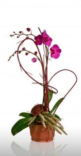 Summer Orchid Plant